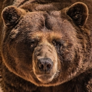 https://commons.wikimedia.org/wiki/File:Grizzly_Bear_Stare_(44068439110).jpg